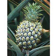 Dwarf Pineapple Tree  Grow Your Own Petite Pineapples!  A tiny tropical delight, this houseplant is more than just a conversation  starter—it actually bears miniature fruits! Put it outside on a sunny patio or deck in the summertime. Bring it indoors when the weather turns. Grows 18-24 in. tall. Potted plants. Zone 10. This item ships only in the spring. 14.99