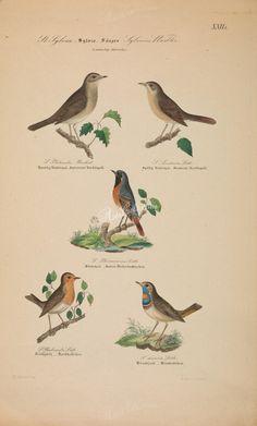 Nightingale, Nightingale, Common Redstart, Blackcap, Swedish Red-Breast      ...