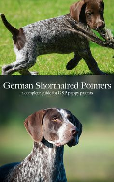 A complete guide to the fascinating German Shorthaired Pointer breed of dog