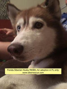 REBEL female #Florida #Siberian #Husky for #adoption in #FL only: http://www.siberrescue.com/