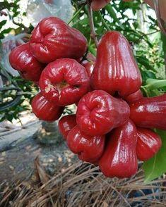 New Fruit And Vegetables Garden Veggies 67 Ideas New Fruit, Colorful Fruit, Tropical Fruits, Fruit And Veg, Fruits And Vegetables, Fresh Fruit, Fruit Flowers, Fruit Plants, Fruit Garden