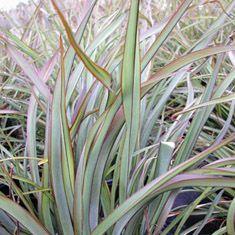 Phormium Tom Thumb Tom Thumb Plants Thumb