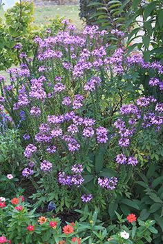 Spider Flower Oklahoma Proven Annual For 2017 Garden Stairs Diffe Flowers Shrubs