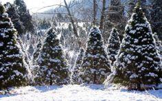House Mountain Christmas Tree Farm | Tennessee Vacation
