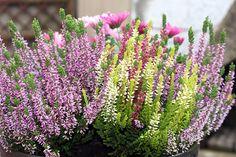 Vřes je léčivou bylinou i dekorativní rostlinou. Jak si vřes doma vypěstovat?