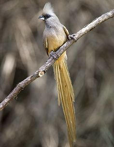 Speckled Mousebird (Colius striatus) in South Africa - photo by Warwick Tarboton
