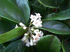 Viburnum Suspensum Privacy Hedge Qty 40 Live Plants by JJGardenBoutique on Etsy