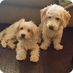 Rancho Cucamonga, CA - Maltese/Poodle (Standard) Mix. Meet Gil, a dog for adoption. http://www.adoptapet.com/pet/13361052-rancho-cucamonga-california-maltese-mix