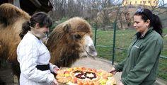 Velbloudice Goldie dostala k narozeninám dort z ovoce a zeleniny