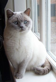 British short hair-lilac colour point- Just like my Louie Kittens And Puppies, Cute Cats And Kittens, I Love Cats, Crazy Cats, Kittens Cutest, Pretty Cats, Beautiful Cats, Blue Point Cat, British Shorthair Kittens