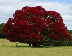 New Zealand Christmas Tree Seeds 12 Seeds Dense canopy of Flowering Trees, Trees And Shrubs, Trees To Plant, Beautiful Landscapes, Beautiful Gardens, Beautiful Flowers, Unique Trees, Colorful Trees, Flower Pot Design