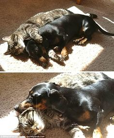 Snuggling up: A dog and cat put aside their differences to enjoy a sun-soaked nap...