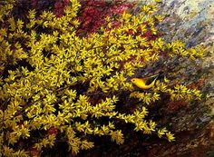 """Golden Spring,"" by Jim Gray.  Stunning representation of beautiful Forsythia, one of Spring's earliest blooms."