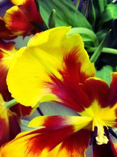 Tulips!!!