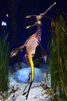 Weedy Sea Dragon Underwater Creatures, Underwater Life, Ocean Creatures, Beautiful Sea Creatures, Animals Beautiful, Weedy Sea Dragon, Dragons, Beautiful Fish, Sea And Ocean