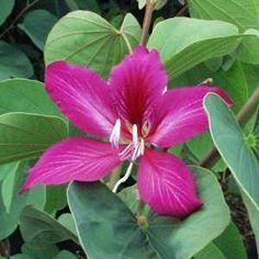 Bauhinia x blakeana (Hong Kong Orchid Tree)