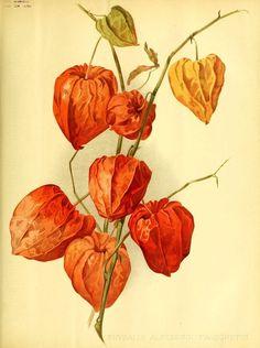 Chinese Lantern Plant. Physalis alkekengi. Published 1896.