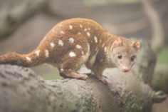 Photo about Close up of an inquisitive looking quoll. These animals are also known as spotted quoll or tiger quoll. Image of brown, marsupial, animals - 104092801 Cute Baby Animals, Animals And Pets, Strange Animals, Unusual Animals, Australian Possum, Dog Pictures, Animal Pictures, Australia Animals, Interesting Animals