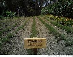 Resultado de imagen de cultivos de tomillo