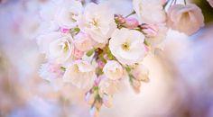 Spring Bloom Cherry