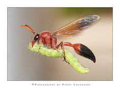 Potter wasp carrying a paralysed caterpillar to feed the babies.