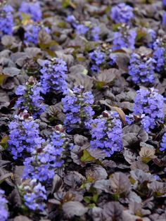 Which Plants to Use as Lawn Alternative. Black Scallop Bugleweed (Ajuga reptans 'Black Scallop') Black Scallop bugleweed boasts near-black leaves that hug the ground. Use plants in areas where only moderate foot traffic occurs or to create a striking bed or path edging. Ajuga forms a thick mat that crowds out weeds, and this particular variety doesn't spread as aggressively into lawns as other types do. … More...