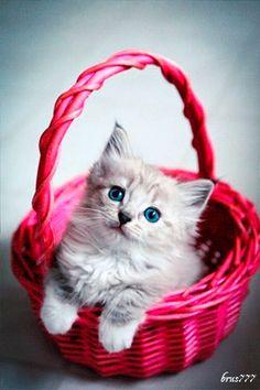 Gatito de color gris dentro de una linda canasta de color rosada con movimiento
