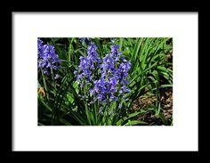 bluebells, blue, garden,  flowers, michiale schneider photography