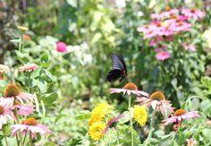 エキナセアに蝶
