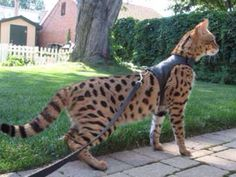 savannah cat. largest domestic cat that looks like a leopard and acts like a dog.