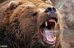 kodiak-brown-bear-growling-picture-id70008828 (612×404)