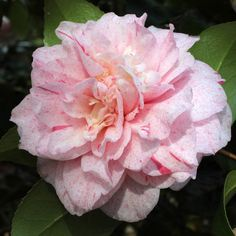 Camellia--Carter's Sunburnt. November-April blooms