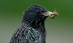 A Common Starling (Sturnus vulgaris) with insect prey, the starling is one of 15 bird species whose decline in population has been linked to pesticide use in the Netherlands.