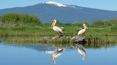 Pelicans near the Wood River. These two sure know how to pick the best spot for a perfect photograph.