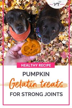 Learn how to make these easy DIY Pumpkin Gummy Dog Treats. Gummy dog treats are healthy because gelatin is good for your dog's joints. With labradors, it's important to look out for their joint health. Pumpkin is also a healthy ingredient for your dog's digestion. Try this easy homemade DIY dog treat recipe. It's no-bake, healthy and delicious! Your dog will gobble up these treats this fall! Full recipe and ideas on Wear Wag Repeat.