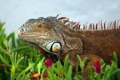 Lizard - Awesome Close-Up !