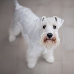 Schnauzer - Beautiful! This favors Maggie Mae but Maggie isn't that tall, and she is a cross between a phantom and white.