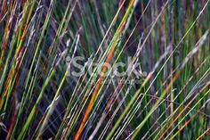 Sunlit Wild Tussock Grass Stalks Royalty Free Stock Photo Floral Backgrounds, Twitter Headers, Abstract Photos, Native Plants, Image Now, Simply Beautiful, New Zealand, Grass, Royalty Free Stock Photos