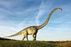 HOW TO COMPARE YOURSELF TO A BRONTO; HOW YOU WOULD LOOK AS A BRONTOSAUR! Say your body stays as it is. In proportion, your neck is 3 ft long, but ONLY THE WIDTH OF A STRAW! Your head would be the size of a peanut. [I believe the picture is of a Diplodicus. No single species is called Brontosaurus (Apatasaurus had dibs). Bronto became a preferred slang term for sauropods.]