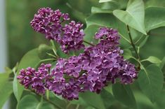 Ludwig Spaeth Lilac Beautiful, heavily fragrant, dark purple, single blooms come late in spring, extending the lilac season! An outstanding selection useful in mixed shrub borders or in mass plantings with other lilacs. Flowering Shrubs, Trees And Shrubs, Garden Trees, Garden Plants, Lilac Varieties, Dark Purple Flowers, Syringa Vulgaris, Monrovia Plants, Lilac Bushes