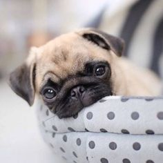 Trendy dogs and puppies pugs so cute ideas Sweet Dogs, Pug Pictures, Pug Pics, Pug Photos, Animal Pictures, Pugs And Kisses, Baby Pugs, Pug Puppies, Terrier Puppies