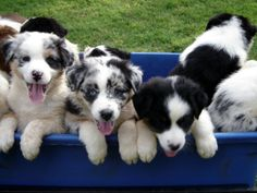 Australian Shepherd Pups! I cant wait until I have another one. Am I out of my mind? Bringing another one of these mischievous dogs into my home? Guess I am :).