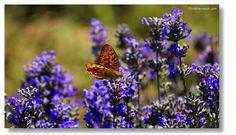 Lavendel, Greith bei Kitzeck Plants, Pictures, Lavender, Plant, Planets