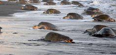 Tourists Disrupt Nesting of Sea Turtles