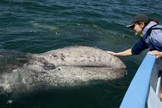 The friendly gray whales of San Ignacio