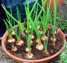 Container Gardening Ideas Growing vegetables in Best and Easiest Vegetables that you can grow in a… - If you are planning to start a vegetable garden but don't have enough space then you can go head wit Growing Vegetables In Pots, Container Vegetables, Growing Plants, Container Gardening, Growing Onions, Gardening Vegetables, Growing Garlic In Pots, Growing Lettuce, Plant Containers