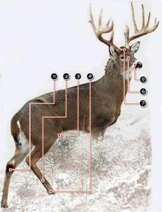 Understanding Seven Deer Glands | Field & Stream