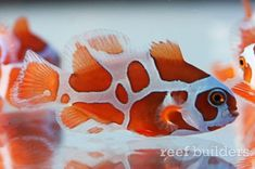 The Peace Keeper Maroon Clownfish is an exciting new strain of Premnas biaculeatus from Captive-Bred, an ornamental fish breeding company based in Israel. Saltwater Aquarium Beginner, Saltwater Aquarium Fish, Tropical Fish Aquarium, Saltwater Tank, Marine Aquarium Fish, Sea Aquarium, Marine Fish Tanks, Tropical Freshwater Fish, Freshwater Aquarium Fish