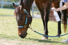 The Fly-Spray Dance: tips for helping a fly-shy mare stand still | EquiSearch