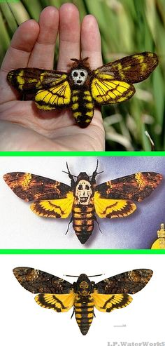 "Fake - Death's Head Moth - The top image is a Needle Felted Wool Pin Sculpture by Pammydawn on Etsy(sold) http://www.etsy.com/listing/40153968/death-moth-needle-felted-wool-pin The second image(claimed real by someone - it's not real.) is a cropped image from the ""Silence of the Lambs"" poster. The last image is a real Death's Head Moth (Acherontia atropos)."